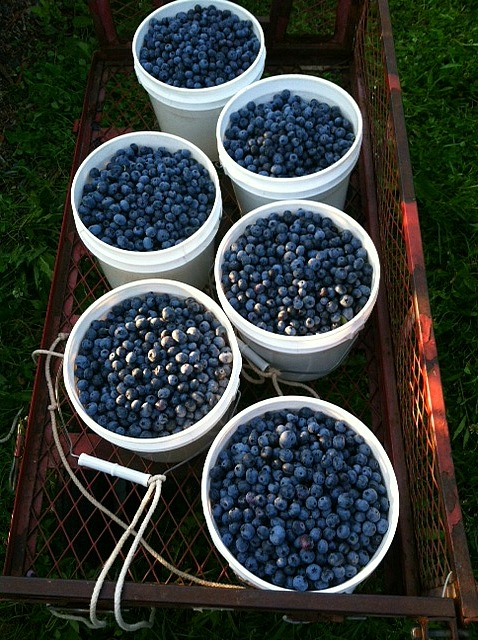 Blueberries by the wagon full!